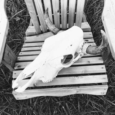 Crâne de vache Texas